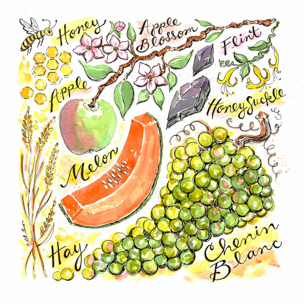 CheninBlanc_watercolor_web